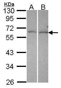 DUSP10 Antibody (PA5-30425) in Western Blot