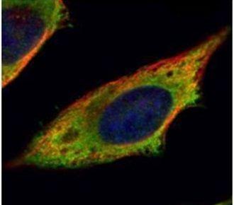 Calpain 11 Antibody (PA5-30432) in Immunofluorescence