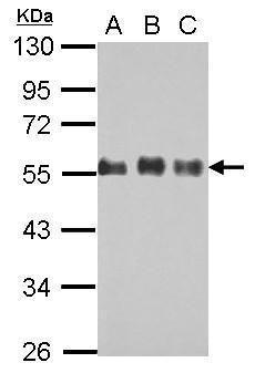 Cdc42EP1 Antibody (PA5-30433)