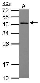 MRPS27 Antibody (PA5-30459) in Western Blot