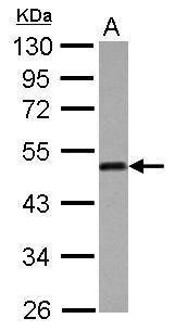 ATG4B Antibody (PA5-30462) in Western Blot