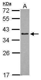 ZNF346 Antibody (PA5-30474) in Western Blot
