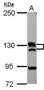 BRD1 Antibody (PA5-30491)