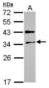 FUS2 Antibody (PA5-30495) in Western Blot