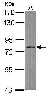 APPL1 Antibody (PA5-30501) in Western Blot