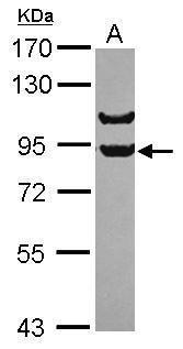 APPL1 Antibody (PA5-30502) in Western Blot