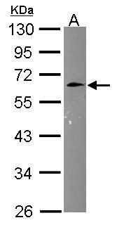 CNNM3 Antibody (PA5-30519)