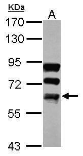 FUBP3 Antibody (PA5-30547) in Western Blot