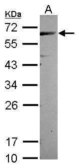 CEP57 Antibody (PA5-30551) in Western Blot