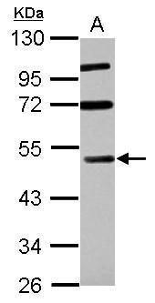RASSF8 Antibody (PA5-30556) in Western Blot