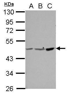 PPME1 Antibody (PA5-30564) in Western Blot