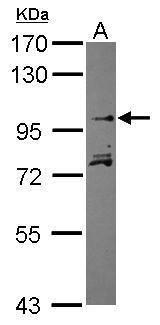 KIF20A Antibody (PA5-30578) in Western Blot