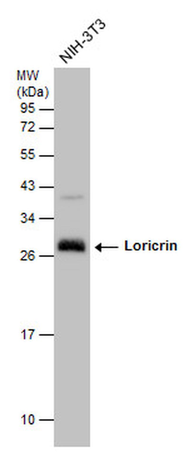 LOR Antibody (PA5-30583) in Western Blot