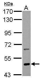 Endothelin A Receptor Antibody (PA5-30589) in Western Blot