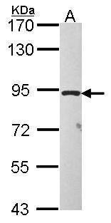 TAS1R1 Antibody (PA5-30597) in Western Blot