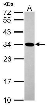 GMNN Antibody (PA5-30612) in Western Blot