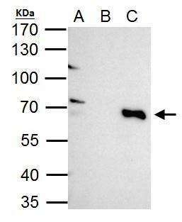 TRIM25 Antibody (PA5-30640) in Immunoprecipitation