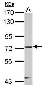 CHFR Antibody (PA5-30655)