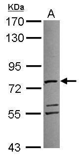 ATAD3A Antibody (PA5-30671) in Western Blot