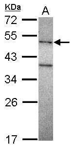 POLM Antibody (PA5-30682)