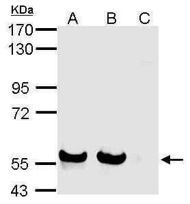 SIGLEC7 Antibody (PA5-30683) in Western Blot