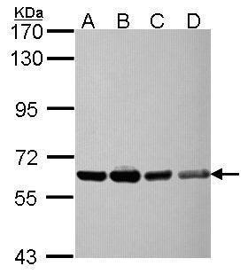 NXF3 Antibody (PA5-30700) in Western Blot