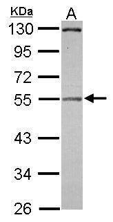 Pellino 2 Antibody (PA5-30701)