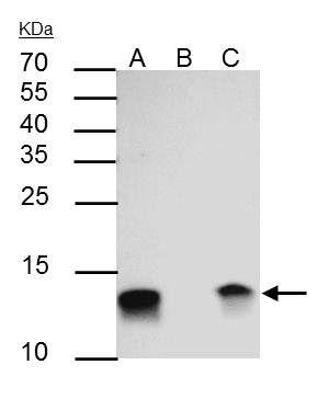 Galectin 1 Antibody (PA5-30706) in Immunoprecipitation