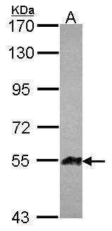 Angiopoietin 3 Antibody (PA5-30709)