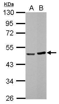BLZF1 Antibody (PA5-30714) in Western Blot