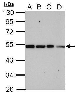 TRIP15 Antibody (PA5-30723) in Western Blot