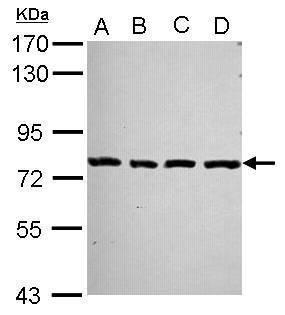 PCDHA2 Antibody (PA5-30736)