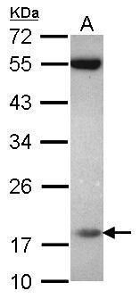 PPIL3 Antibody (PA5-30742) in Western Blot