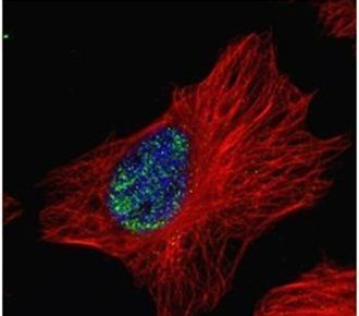 MYNN Antibody (PA5-30766) in Immunofluorescence