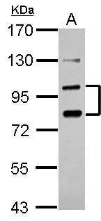 PCDHA6 Antibody (PA5-30768)