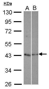 TEX13A Antibody (PA5-30769)