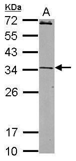 JAM2 Antibody (PA5-30788)
