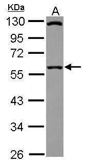 SIL1 Antibody (PA5-30799) in Western Blot