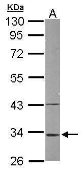 MRPL1 Antibody (PA5-30806) in Western Blot