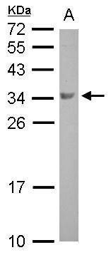 BOLL Antibody (PA5-30808) in Western Blot
