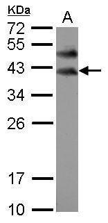 BOLL Antibody (PA5-30809) in Western Blot