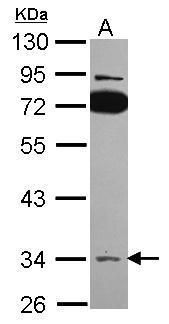 SLC25A22 Antibody (PA5-30822) in Western Blot