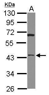 HTRA3 Antibody (PA5-30868) in Western Blot