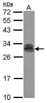PTTG2 Antibody (PA5-30881) in Western Blot