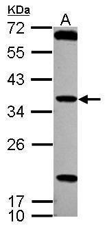 TSSK4 Antibody (PA5-30886) in Western Blot