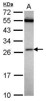FAAP24 Antibody (PA5-30903)
