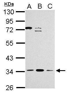 ZNF124 Antibody (PA5-30923) in Western Blot