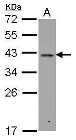 RALY Antibody (PA5-30929) in Western Blot