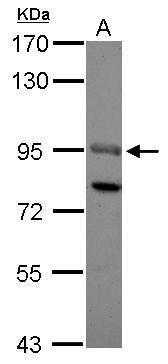 SOX13 Antibody (PA5-30930) in Western Blot