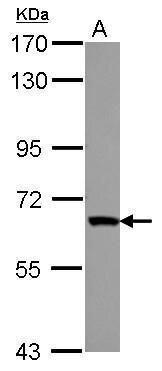 ZNF543 Antibody (PA5-30932)
